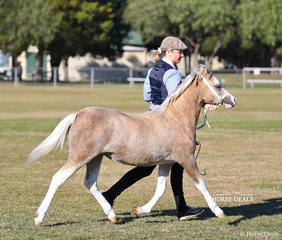"""Winner of the Welsh Mountain Pony Filly foal class and Reserve Champion Welsh Mountain Pony Foal """"Woranora Nakita"""" owned by Helen Dohan."""