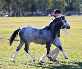 """""""Lyon's Lane Ballerina"""" placed 3rd in a strong class for Welsh Mountain Pony Filly Foals for owner Sue Lyons."""
