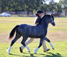 """The Supreme Champion Welsh Foal Exhibit on the move - Daniel harvey's """"Eagle Park Play & Tell""""."""
