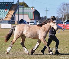 "Champion Welsh C Foal ""Haluma Park Caerwyn"" exhibited by Hannah Shilcock."