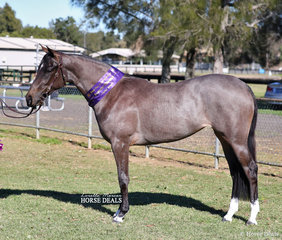 "Melise Tuma-Webb's Supreme Stock Horse Youngstock Exhibit ""Kallenia Diva""."