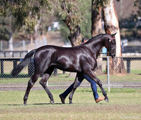 """""""LLB Armani"""" owned by Lucy Thompson was Supreme Thoroughbred/ANSA/ Warblood Youngstock Exhibit."""