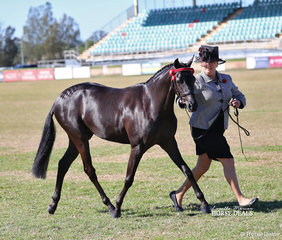 "Elizabeth Tomlinson running out her lovely ""Carlingford Park Sophia Loren"". They took home the Arabian Riding Pony Youngstock Championship as well as winning Supreme Champion Derivative Youngstock."