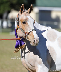 """Champion Paint Youngstock and Supreme Champion Western Youngstock Exhibit """"Fancy That"""", exhibited by Samantha Rosser."""