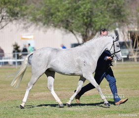 """Champion Partbred APSB/APSB Riding Pony Youngstock """"The Beach Hercules"""", owned by Lucy Thompson."""