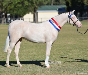 """Champion White Horse Youngstock Exhibit & Reserve Champion Arabian Pony Youngstcok Exhibit -  """"A Blue Moon De Milo"""", owned by the Cole & Shepley Families."""