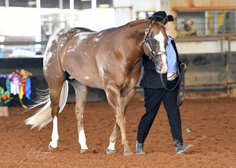 Champion Appaloosa Colt Stallion .Katrina Lewis showing Ya Call That Subtle