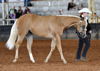 Kim Griffin with GP Sheza Cool Secret, in the Amatuer Owner 1 and under solid paint filly halter class