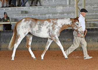 Lust, shown by Stewart Cropp in Yearling Hunter In Hand