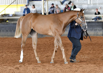 OVS Victorious shown by Mavis Marshall in the weanling filly halter classes