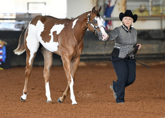 Samantha Daley showing Cause I'm Worth It at halter, for Neva Craig.
