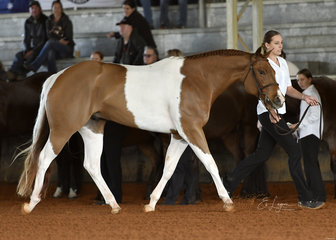 Tally S Xplicit Kiss shown by Briana Miller in Junior Horse Hunter In Hand