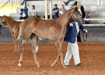 Amateur Owner weanling filly winner, HMF Indulgence and Kevin Mills