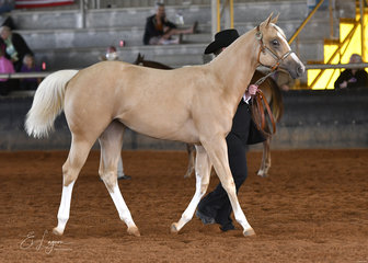 Match Point shown by Leanne Bartlett, in the weanling filly halter class