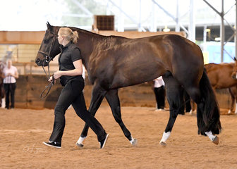 Lyndall Dauth showing Big Reputation in Junior Horse Hunter In Hand