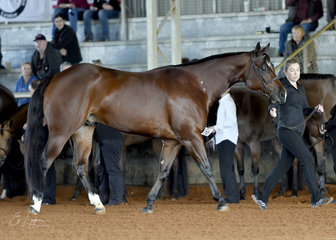 SRQ Fancy Lopin shown by Emma Woirnarski in Junior Horse Hunter In Hand