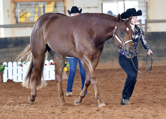 Charlotte Mansley showing Designed By The Prophet in Youth Halter gelding