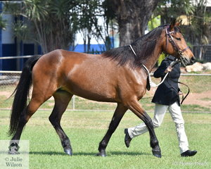 Lucinda Hooper is on the run with her Dryandri Patellaris to be awarded Reserve Champion Waler.