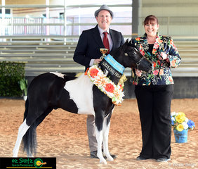 The Ultimate Gelding of the Show was judged on Saturday afternoon and awarded to Bri-Lee Wicked as the Wind exhibited by Rebecca Howe