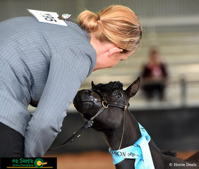Showing love to her handler at the Queensland AMHS State Show was Country Rose Attitude's Wonderstruck in the Class 1 Minature Horse Filly - Yearling.