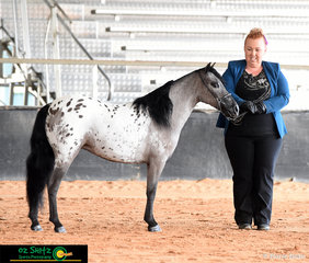 Showing off her beautiful skills in the State Champion Best Presented Adult Handler - Novice, was Kaitlyn Anneca at the Queensland AMHS State Show 2019