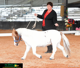 At the Queensland AMHS State Show 2019, Starbuck Dressed for Success was competing in the State Champion Minature Pony Lungeline with exhibitor Justine Addis.