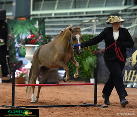 Jumping through the Little Horse Hunter Class to a win was Nulgi I Need A Dollar and Exhibitor Anna Rose Chapman at the Queensland AMHS State Show.
