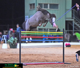 Holder of the Guiness World Record for Highest Jumping Miniature Horse was The Glebe Dixie Chick competing in the Fault and Out Competition and bringing home a win at the Queensland AMHS State Championships.