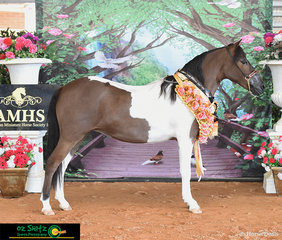 Exhibitor Krystal Thomas was over the moon with Skyvale GS Shootin for Hearts after winning the AMHS QLD State Supreme Amateur Owner Little Horse Exhibit on Friday Afternoon.