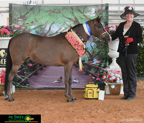 Winner of the State Champion AO Small Foundation Horse Filly or Mare was Wynstar Lodge Lady Angelina exhibited by Liana Wynne at the Queensland AMHS State Show 2019.
