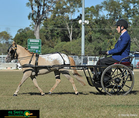 Competing in the Small Horse and Harness Puzzle Pieces Hasta La Vista Baby had a beautiful trot for his young handler on Sunday