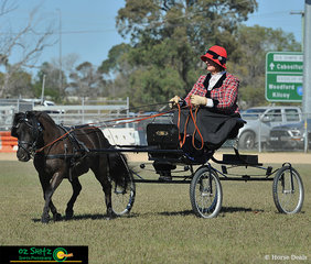 Colhaven Hokey Pokey looked stunning in the AMHS Qld State Champion Educated Miniature Pony in Harness held on Sunday at the Caboolture Showgrounds
