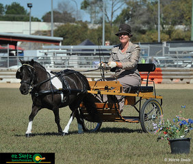 Beautiful trot movement shown in the State Champion Appendix Pony in Harness by Imperial Supreme Aussie's Image exhibited by Karen Hircock on the last day of the Queensland AMHS 2019 State Show.
