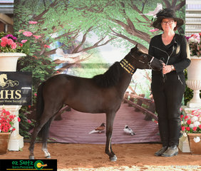 Winner of the Grand Champion Classic Trot on Friday as Nulgi Lucky's Little Gem exhibited by Debbie Chapman