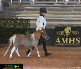 Working out in their State Champion Miniature Pony Mare 3 Years Class is Bellviews Sunday Jazz Session and  Kym Wilson on the third day of competition at the Queensland AMHS State Show 2019.