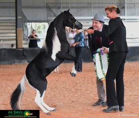 Argyle Park Just Devine tried to kiss the judge after being awarded AMHS QLD State Best Of Show Miniature Horse Exhibit on Saturday afternoon