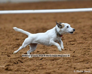 """Caroline Colby's """"Margot"""" also had a successful show winning her dog race class"""