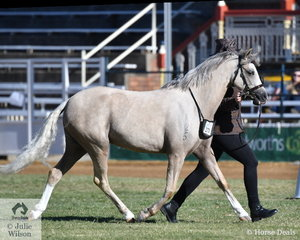 Sally Dalby did the honours with Keiley Anne Bell's, 'Belgarra Heaven Sent' (Brampton Prince of Thieves/Indi Grace) to be declared Champion Mare and Supreme Champion Welsh Pony Exhibit.