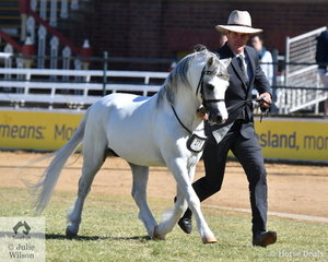 "The ""Travelling Horseman"", Richard Sharman led Jill Gregson's, 'Imperial Patrone' (Imperial Castaway/Imperial Parfait)to claim the Welsh Mountain Pony Stallion Championship."