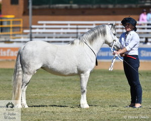 The Preston Park Ponies and Mitchell Family nomination, 'Barn Hill Posie' (Barn Hill Fletcher/Barn Hill Posey) was declared Champin Welsh Mountain Pony Mare.