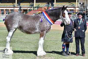 For the fifth time, The Stewart-Koster family claimed the Supreme Led Clydesdale Exhibit at the EKKA with their wonderful, 'Duneske Flash Pearl' (Box Valley Banjo/Duneske Flash Princess). The mare is pictured with Ian Stewart-Koster and judge, Steve Ledsham from England.