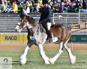 Kelly Dudley rode the Balgowan Clydesdales and Shire Stud's, 'Balgowan Rumour' to win the class for Clydesdale Under Saddle.