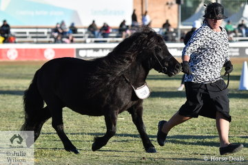 Once again legendary Shetland Exhibitor, Janice Young dominated the classes at the Ekka. Her daughter, Michelle Cubley is pictured on the run with, 'Dunthomas Gene' (Fenwick Trident/Levenwick Georgina) that was declared Champion Shetland Pony Mare.