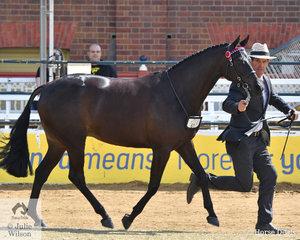 Richard Sharman led Kelly Bond's, 'Rathowen Saving Grace' (Dresden Ace of Spades/Salutations of Rathowen) to claim the Australian Saddle Pony Mare Championship.