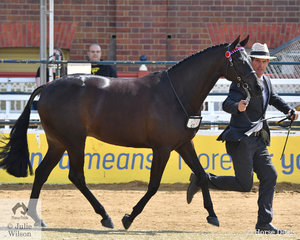 Richard Sharman led Kelly Bond's, 'Rathowen Saving Grace' (Dresden Ace of Spades/Salutations of Rathowen) to claim the Australian Saddle Pony Mare Championship.