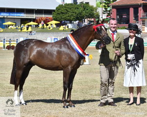 Daniel Harvey led the Hannaley Riding Ponies' nomination, 'Royal Anarchy of Hannaley' (Deanhills Revolution imp UK/Royal Vache) to claim the Stallion Championship and go on to take out the Supreme Led Riding Pony award. They are pictured with judge, Marion MacLennan (SCT).