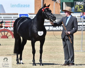 Alan Willett is pictured with his just delightful, 'Rocksbury Bel Air' (Dinkum Pepsi/Win D Pep Talk) that won the class for Led ANSA Stallion Over 4 Years Not Exceeding 15.2hh.