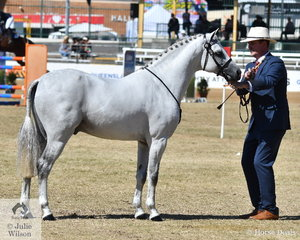 Mark Lilley is pictured with the Riverglen Pony Stud's hugely successful, 'Riverglen Zion' (Koora-Lyn Acclaim/R Zephyryn) that today was declare Champion Arabian Derivative Stallion/Colt. Earlier in the show Zion was Supreme Australian Pony and Supreme Australian Saddle Pony as well as winning his Under Saddle classes.