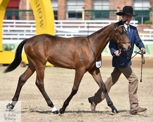 Hayden Todd took second place in the class for Led ASH Colt One Year and Under with his, 'Spur Stud Caught Muking Around' foaled 18/12/2018 (Royalle Remand/Spur Stud Madam Muk)