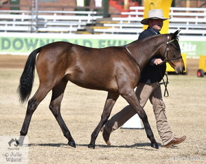 Hayden Todd's filly, 'Spur Stud Amazing Grace' foaled 15/10/2018 really impressed the judge with her temperament and movement. By Royalle Remand out of Richglen Mink the filly won the class for Filly One Year Old and Under and went on to be declared Best Led ASH Under Two Years Old.